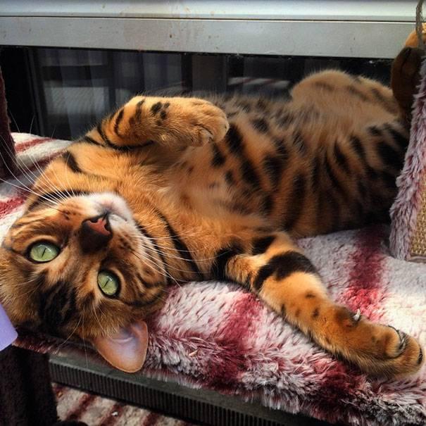 bengal-cat-spots-fur-thor-10