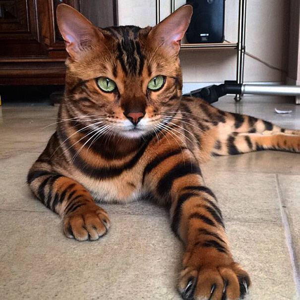 bengal-cat-spots-fur-thor-5-2