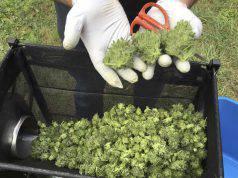 """Consiglio Superiore di Sanità: """"Attenzione alla cannabis light"""""""