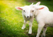 non-mangiare-agnello-pasqua-2019.jpg